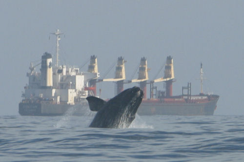 North Atlantic right whale near a ship. Florida Fish and Wildlife Conservation Commission, via NOAA